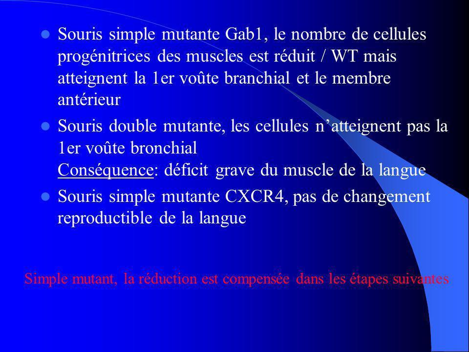 Souris simple mutante Gab1, le nombre de cellules progénitrices des muscles est réduit / WT mais atteignent la 1er voûte branchial et le membre antérieur
