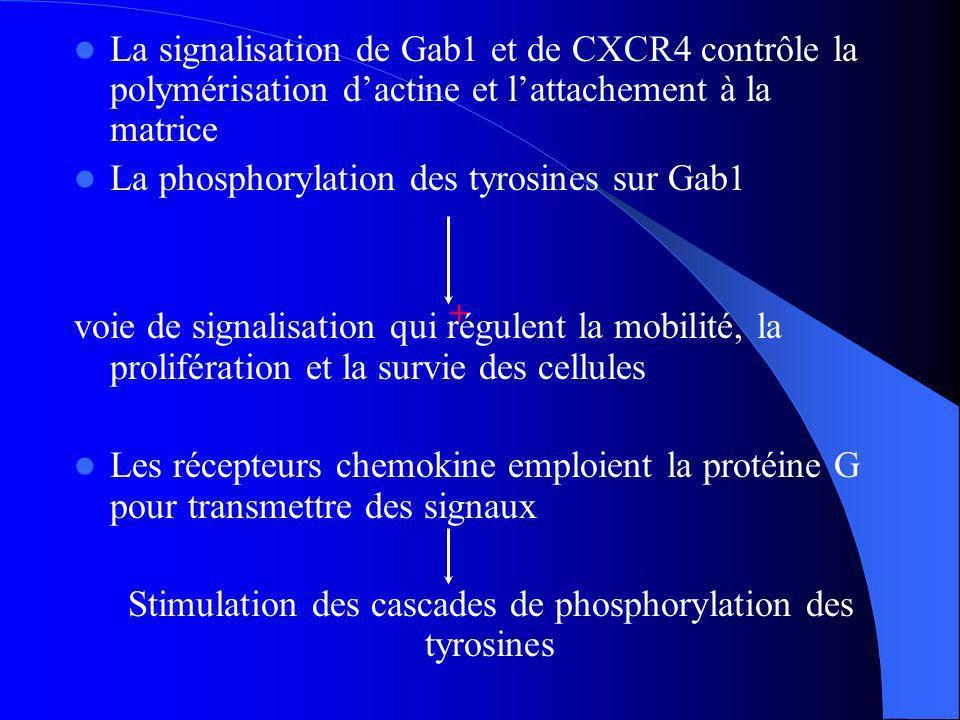 Stimulation des cascades de phosphorylation des tyrosines