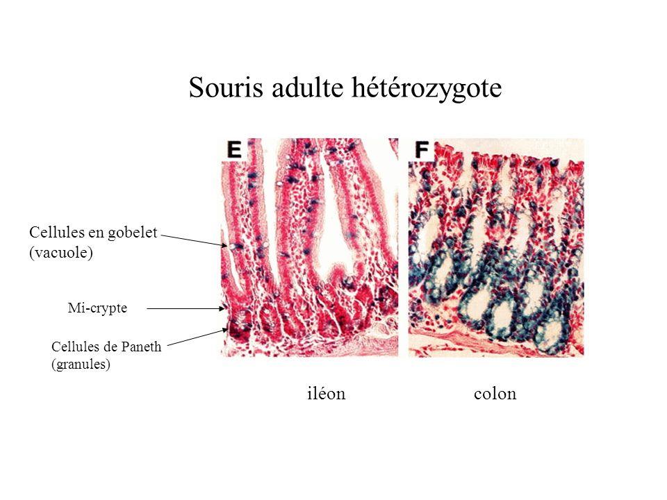 Souris adulte hétérozygote