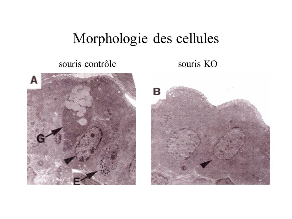 Morphologie des cellules