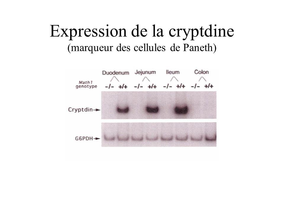 Expression de la cryptdine (marqueur des cellules de Paneth)