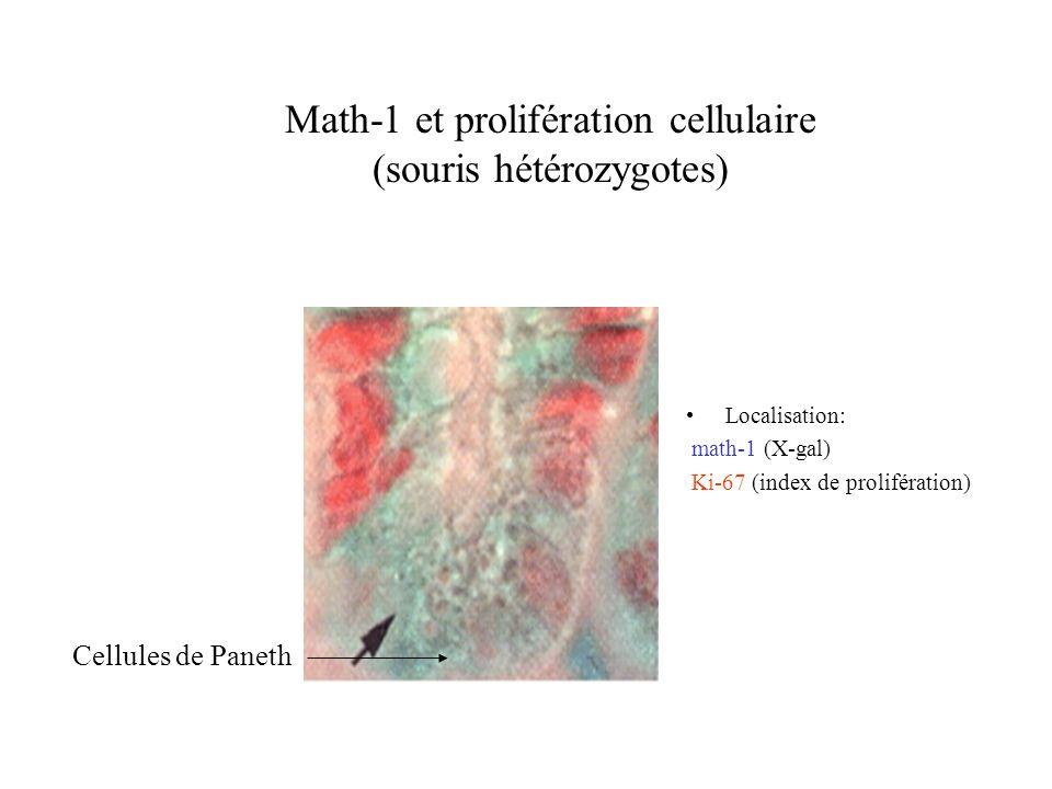 Math-1 et prolifération cellulaire (souris hétérozygotes)