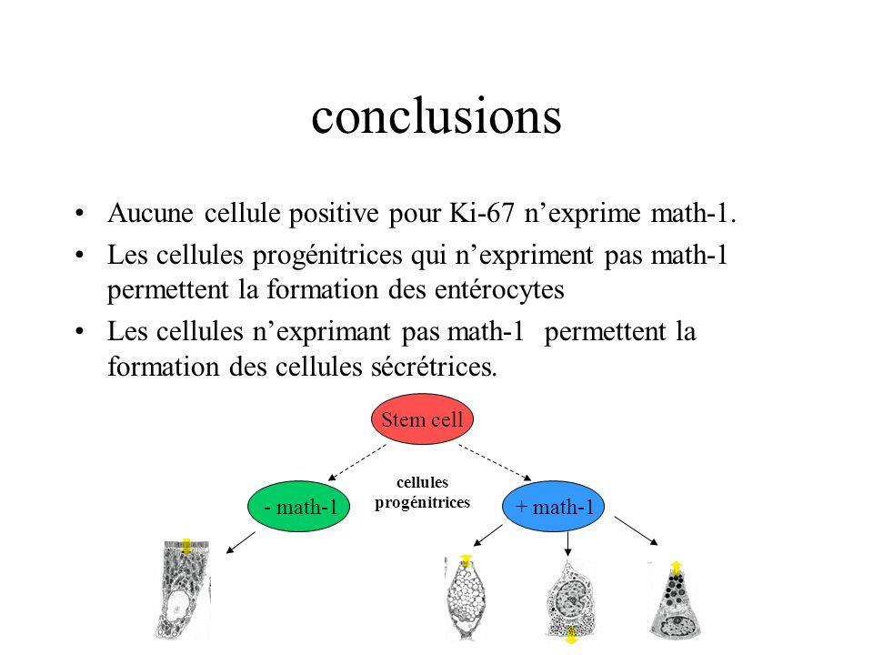 conclusions Aucune cellule positive pour Ki-67 n'exprime math-1.