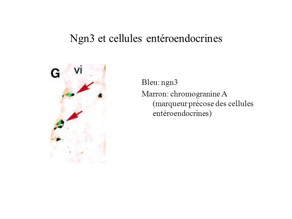 Ngn3 et cellules entéroendocrines