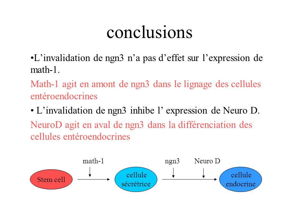 conclusions L'invalidation de ngn3 n'a pas d'effet sur l'expression de math-1.
