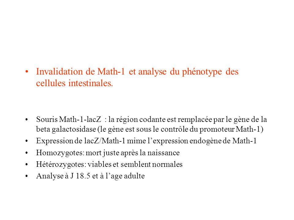 Invalidation de Math-1 et analyse du phénotype des cellules intestinales.