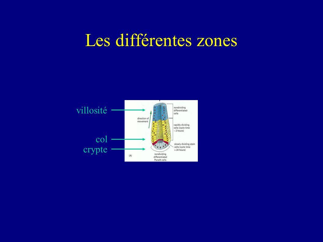Les différentes zones villosité col crypte