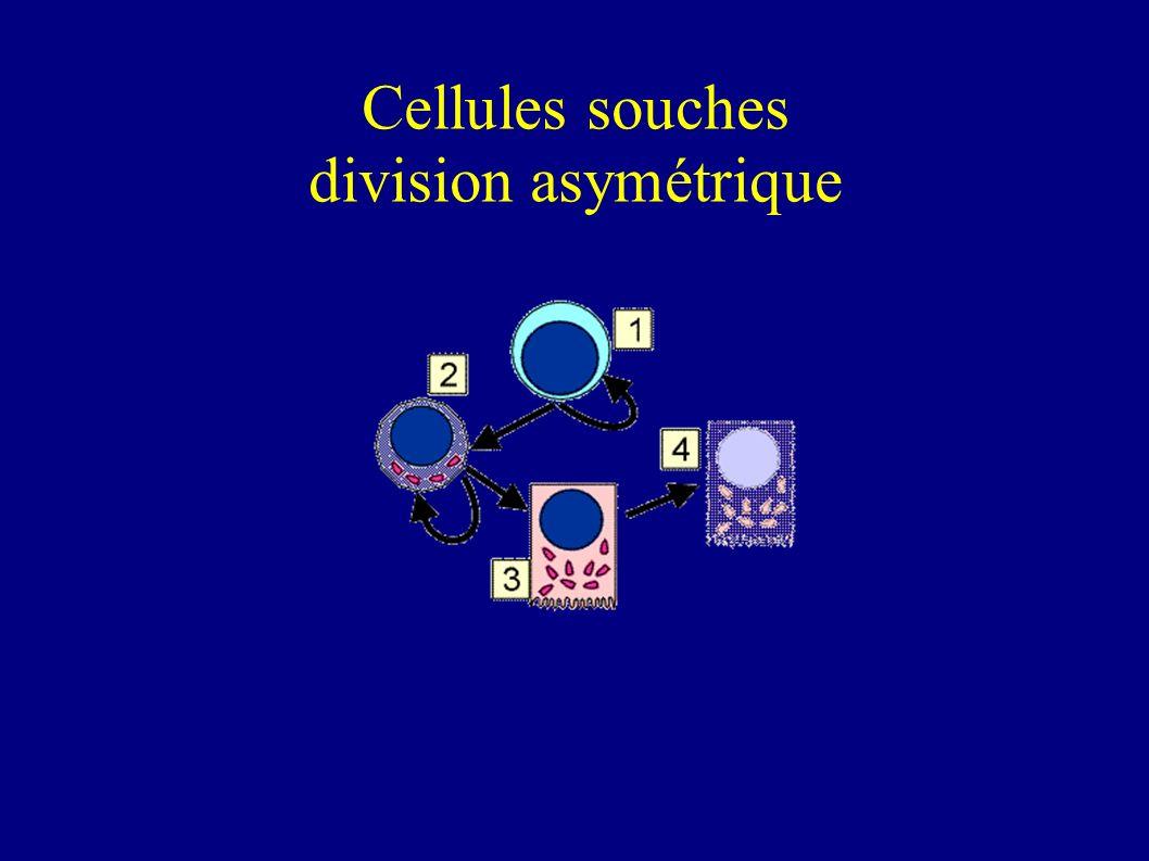 Cellules souches division asymétrique