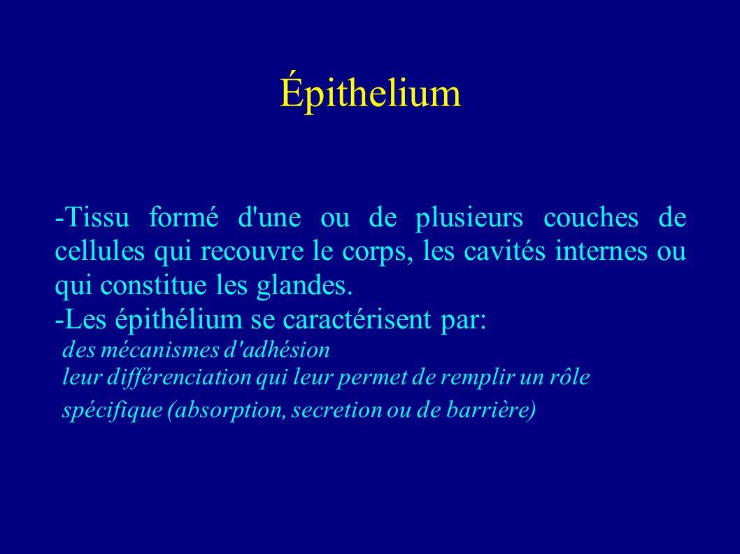 Épithelium -Tissu formé d une ou de plusieurs couches de cellules qui recouvre le corps, les cavités internes ou qui constitue les glandes.
