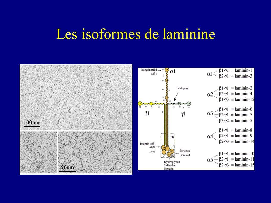 Les isoformes de laminine