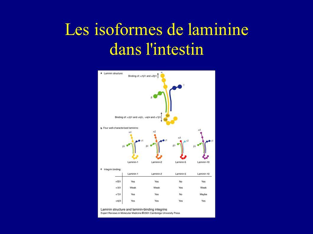 Les isoformes de laminine dans l intestin