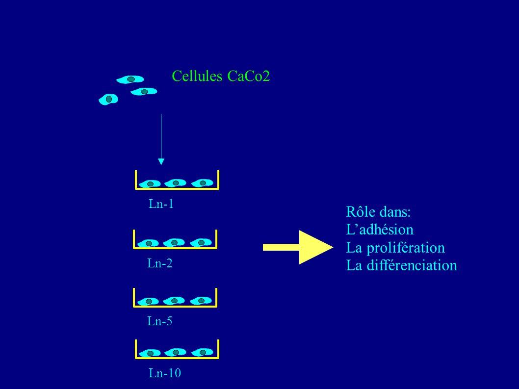 Cellules CaCo2 Rôle dans: L'adhésion La prolifération