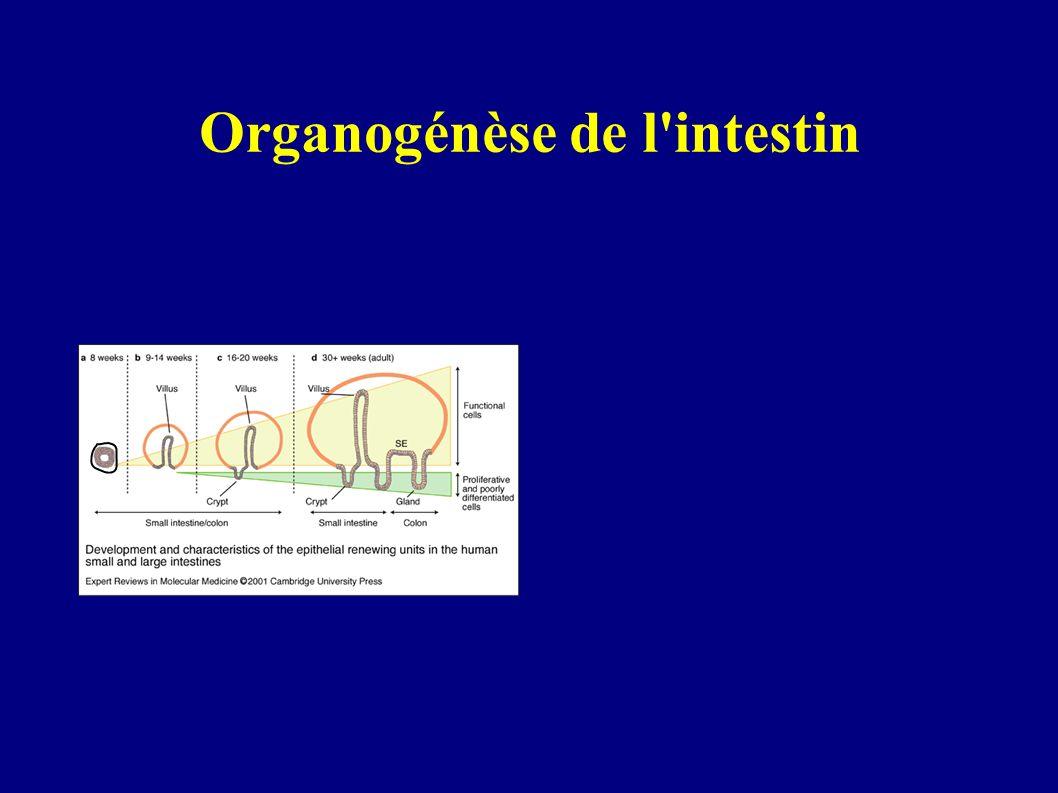Organogénèse de l intestin