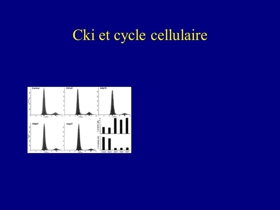 Cki et cycle cellulaire