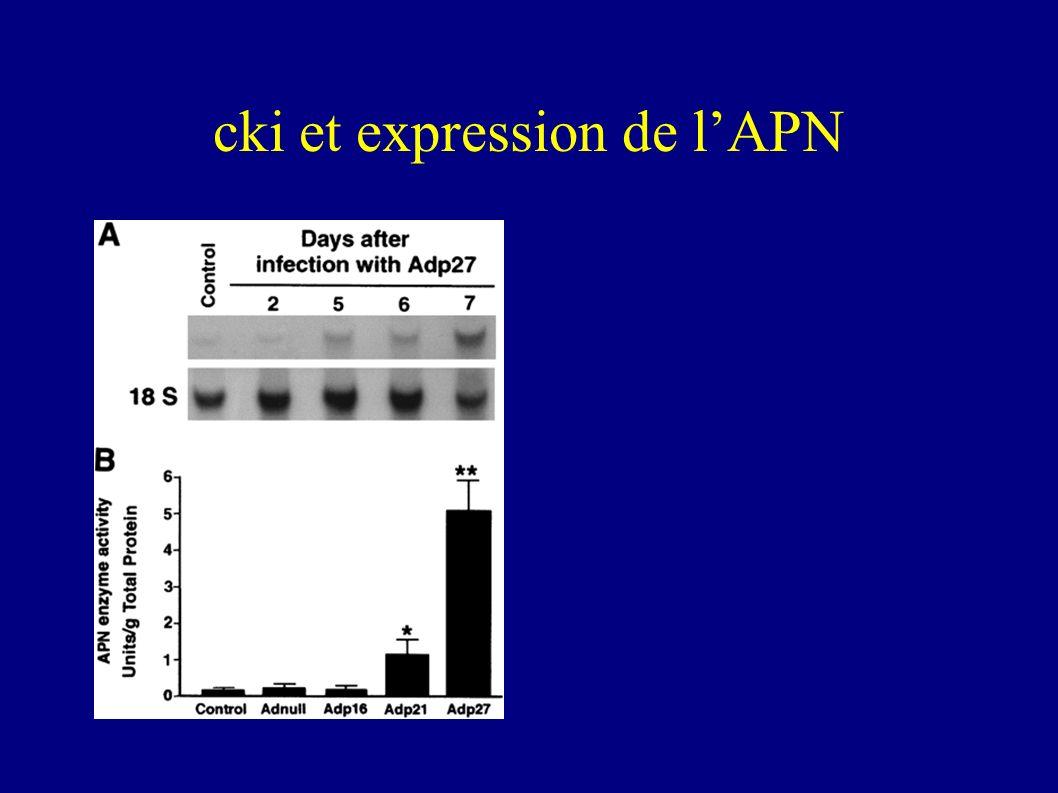 cki et expression de l'APN