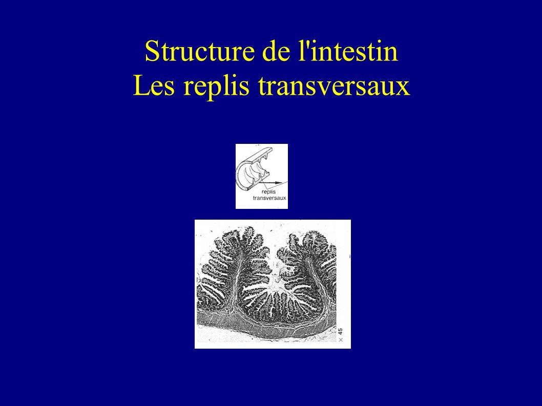 Structure de l intestin Les replis transversaux