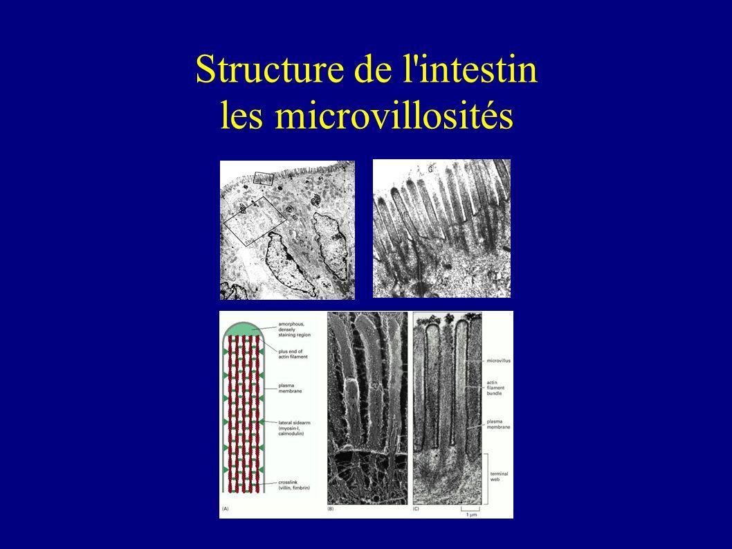 Structure de l intestin les microvillosités