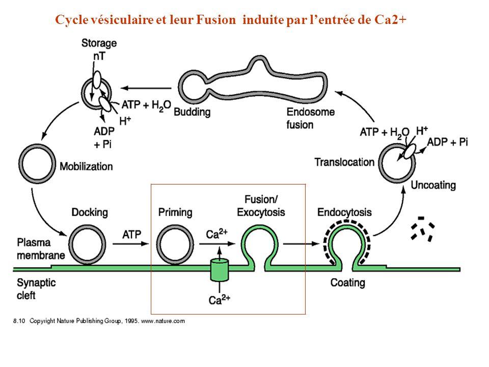 Cycle vésiculaire et leur Fusion induite par l'entrée de Ca2+