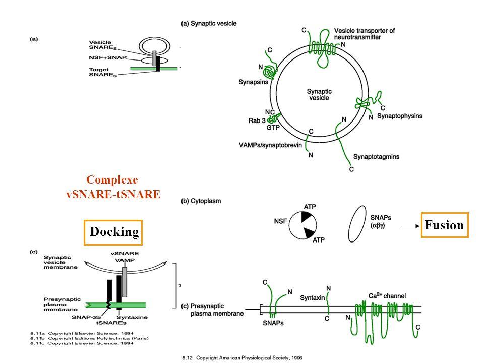 Complexe vSNARE-tSNARE Fusion Docking