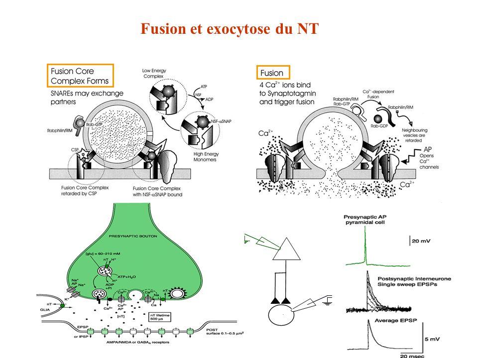 Fusion et exocytose du NT
