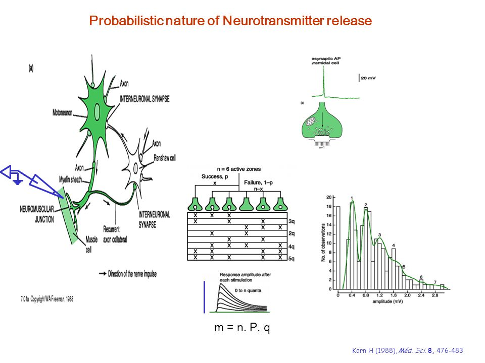 Probabilistic nature of Neurotransmitter release