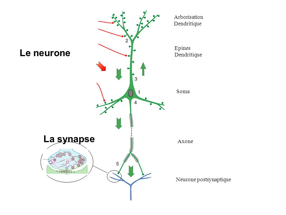 Le neurone La synapse Arborisation Dendritique Epines Dendritique Soma