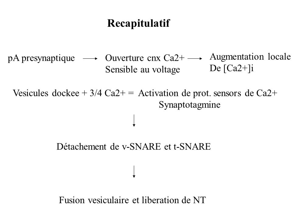 Recapitulatif pA presynaptique Ouverture cnx Ca2+ Sensible au voltage
