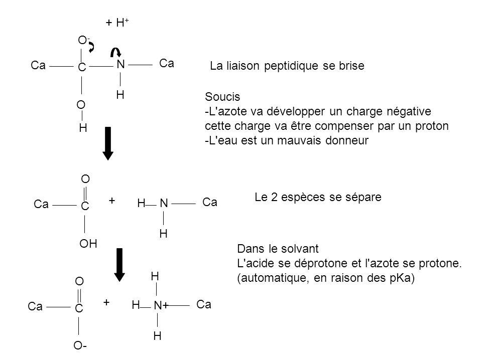 + H+ O- Ca. N. Ca. C. La liaison peptidique se brise. H. Soucis. -L azote va développer un charge négative.