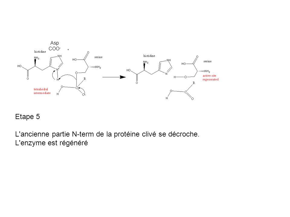 L ancienne partie N-term de la protéine clivé se décroche.