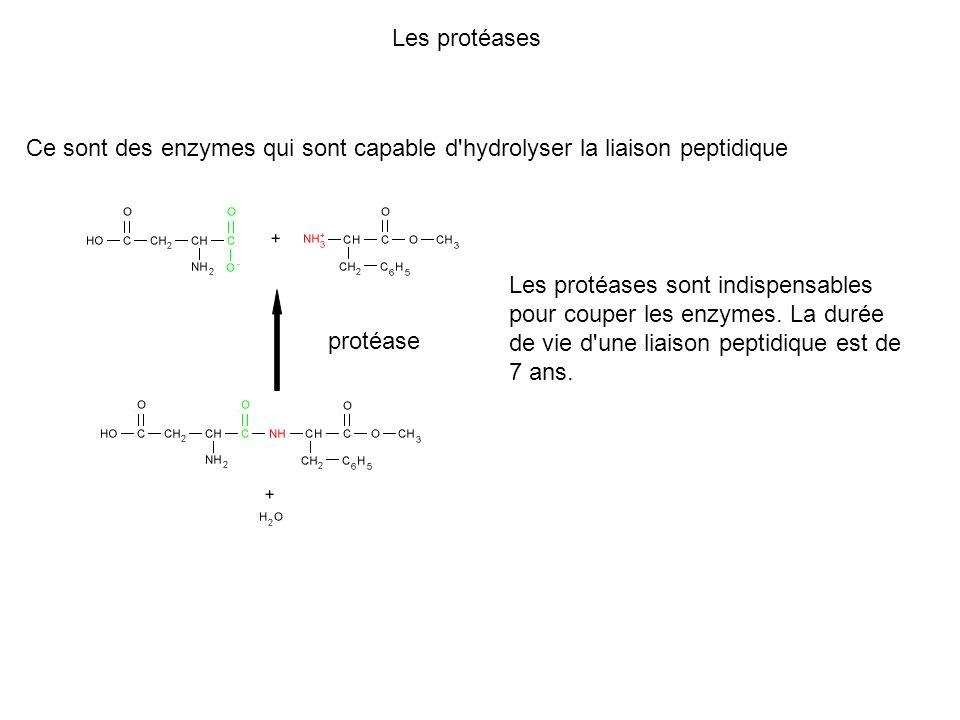 Les protéases Ce sont des enzymes qui sont capable d hydrolyser la liaison peptidique.