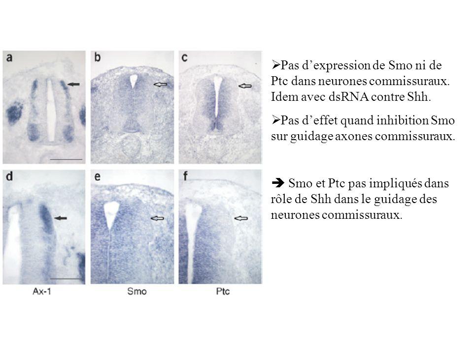 Pas d'expression de Smo ni de Ptc dans neurones commissuraux