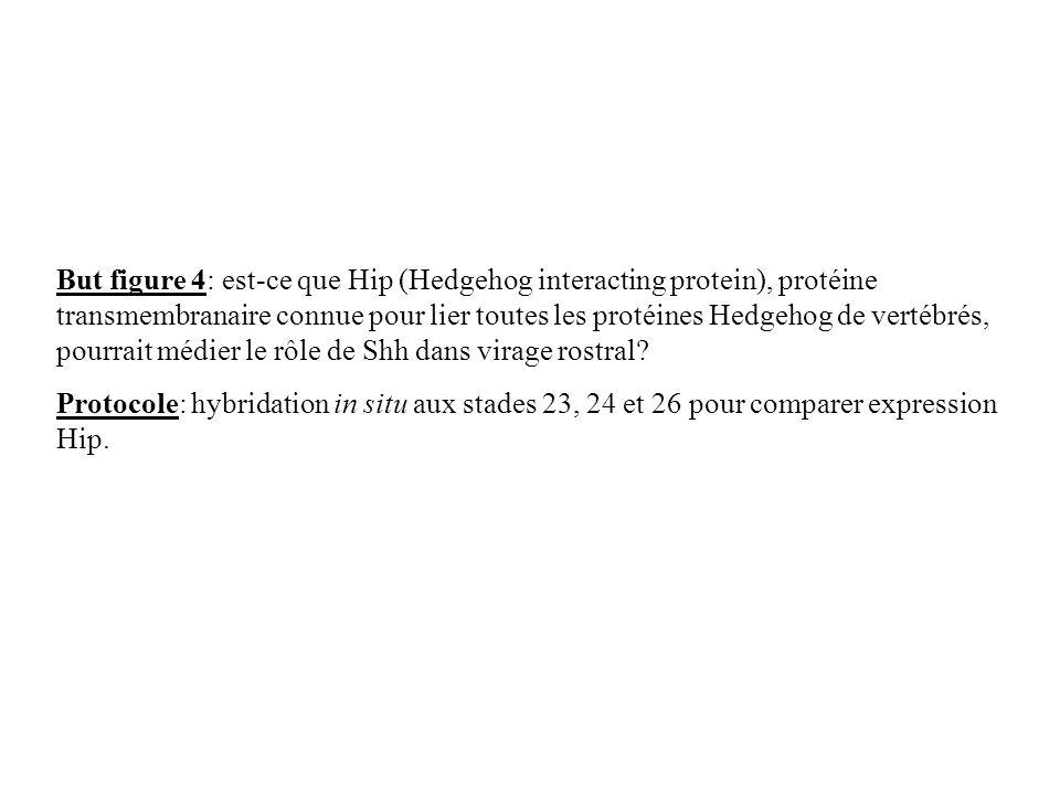But figure 4: est-ce que Hip (Hedgehog interacting protein), protéine transmembranaire connue pour lier toutes les protéines Hedgehog de vertébrés, pourrait médier le rôle de Shh dans virage rostral