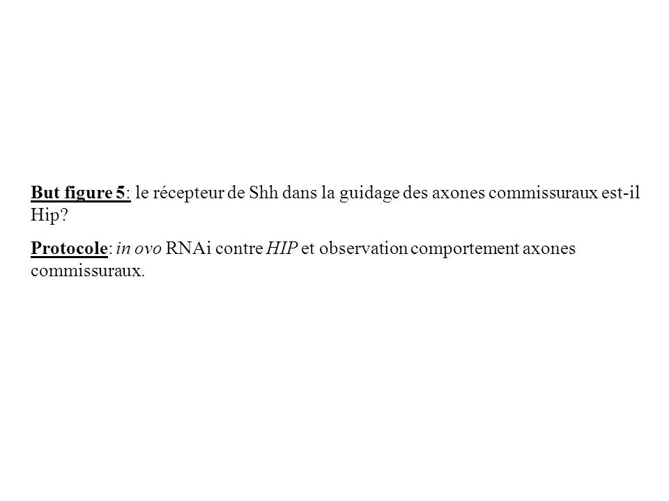 But figure 5: le récepteur de Shh dans la guidage des axones commissuraux est-il Hip
