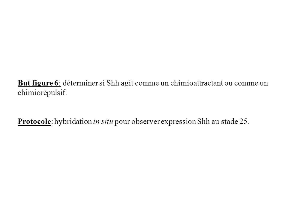 But figure 6: déterminer si Shh agit comme un chimioattractant ou comme un chimiorépulsif.