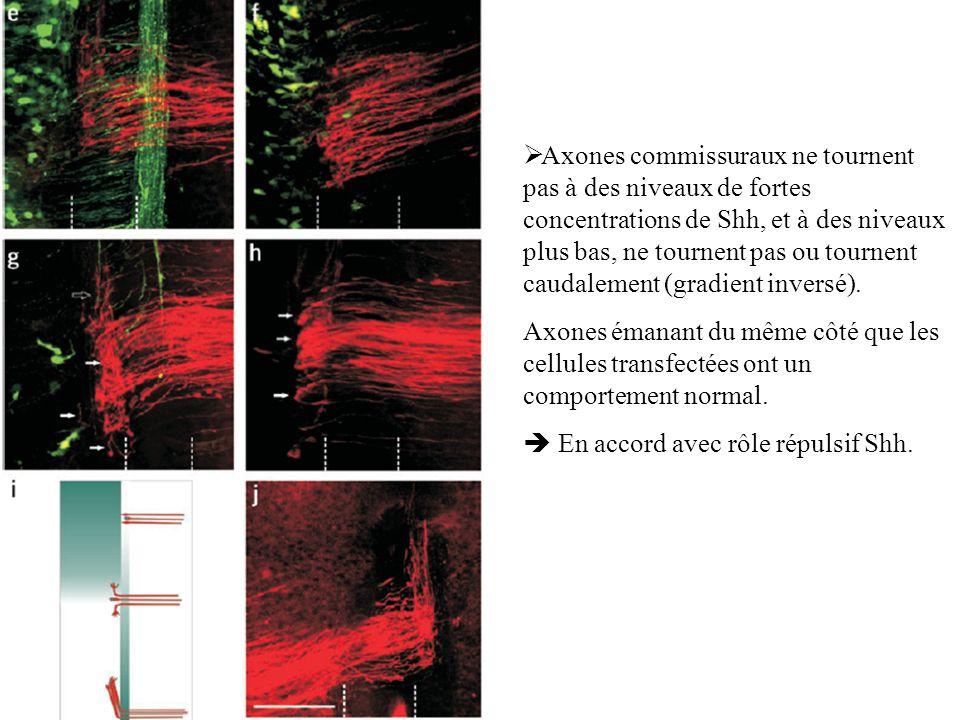 Axones commissuraux ne tournent pas à des niveaux de fortes concentrations de Shh, et à des niveaux plus bas, ne tournent pas ou tournent caudalement (gradient inversé).