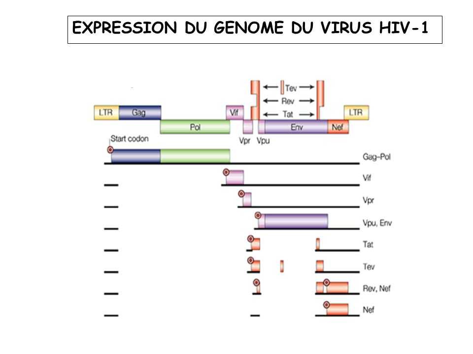 EXPRESSION DU GENOME DU VIRUS HIV-1