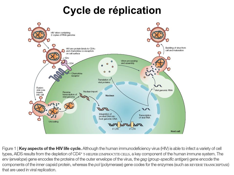 Cycle de réplication