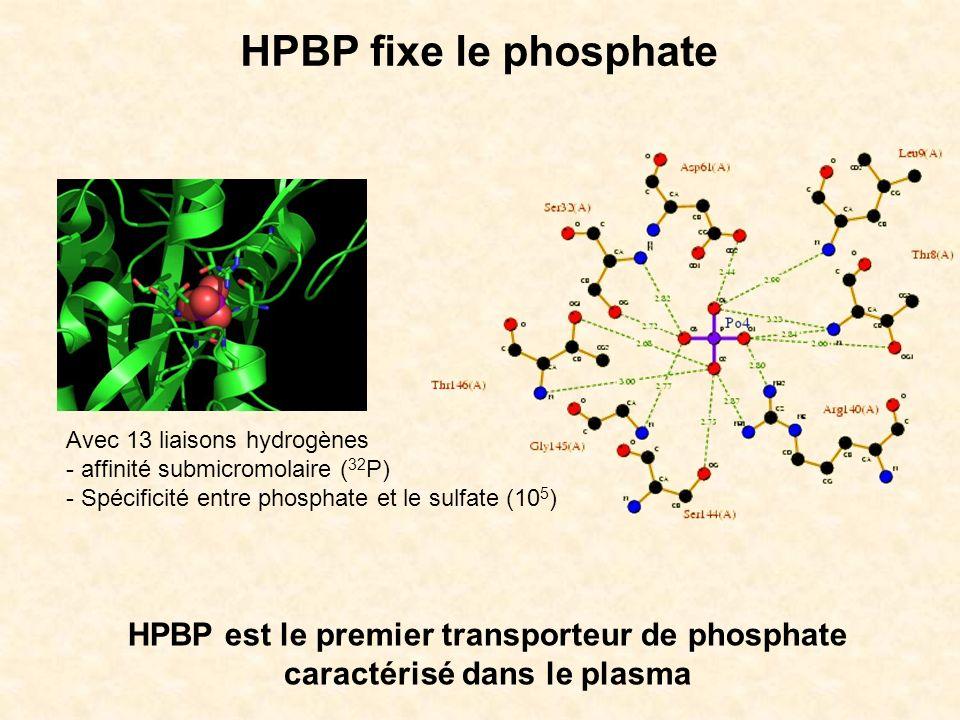 HPBP fixe le phosphate Avec 13 liaisons hydrogènes. affinité submicromolaire (32P) - Spécificité entre phosphate et le sulfate (105)