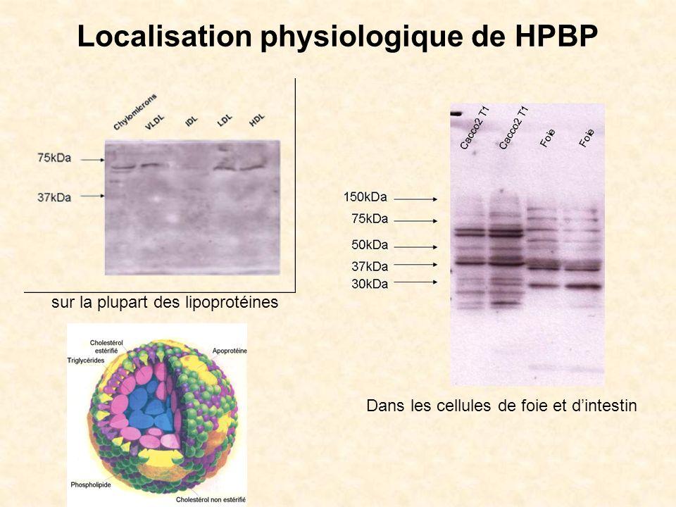 Localisation physiologique de HPBP