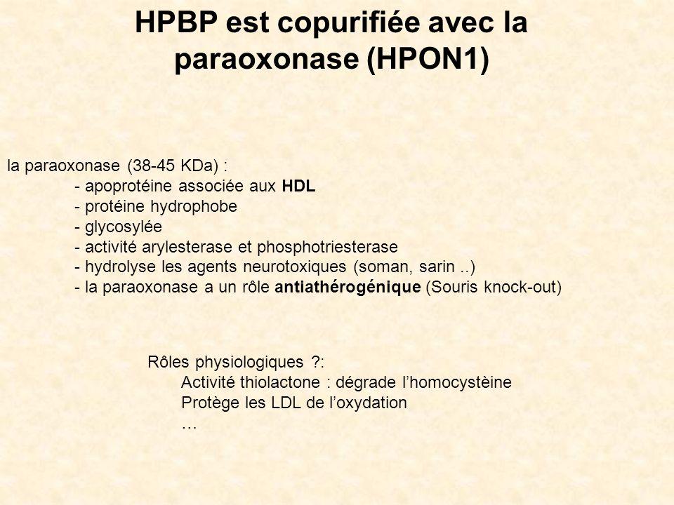 HPBP est copurifiée avec la paraoxonase (HPON1)