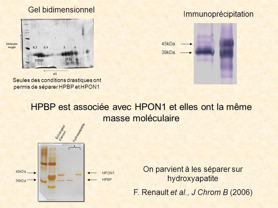 HPBP est associée avec HPON1 et elles ont la même masse moléculaire