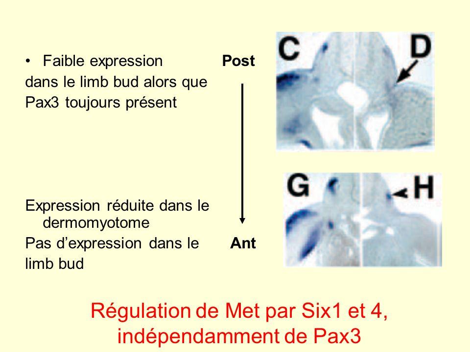 Régulation de Met par Six1 et 4, indépendamment de Pax3
