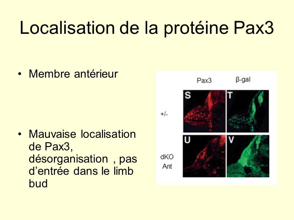 Localisation de la protéine Pax3