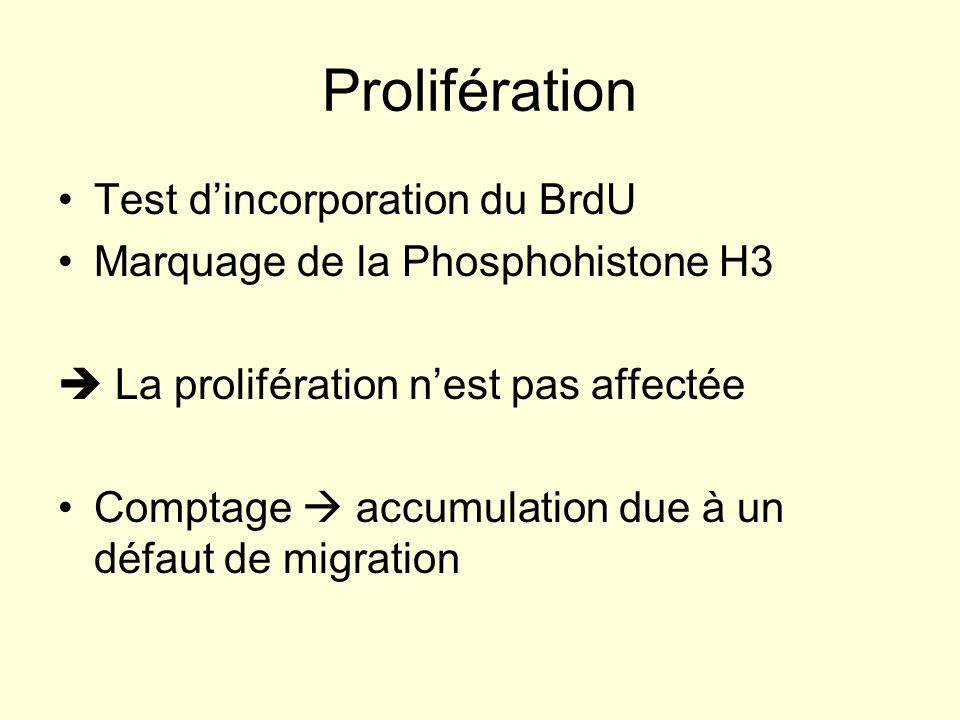 Prolifération Test d'incorporation du BrdU