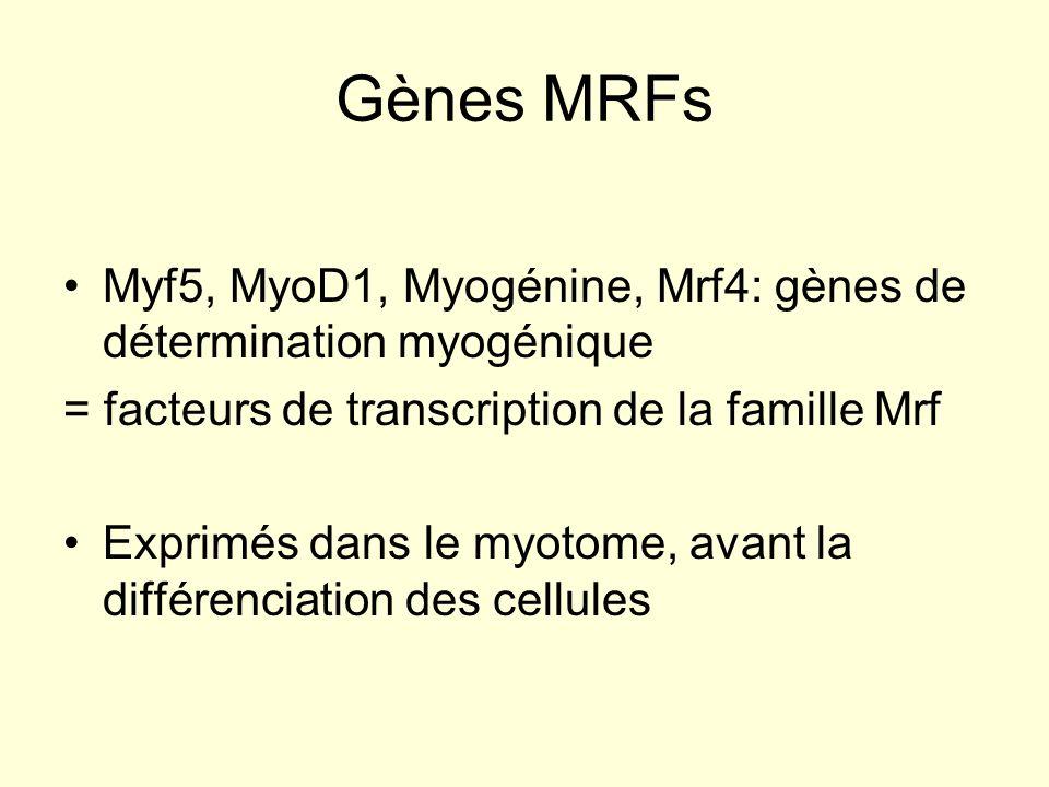 Gènes MRFs Myf5, MyoD1, Myogénine, Mrf4: gènes de détermination myogénique. = facteurs de transcription de la famille Mrf.