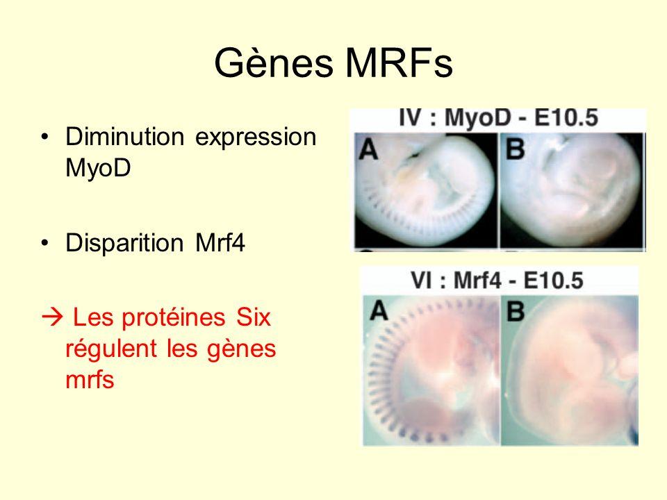Gènes MRFs Diminution expression MyoD Disparition Mrf4