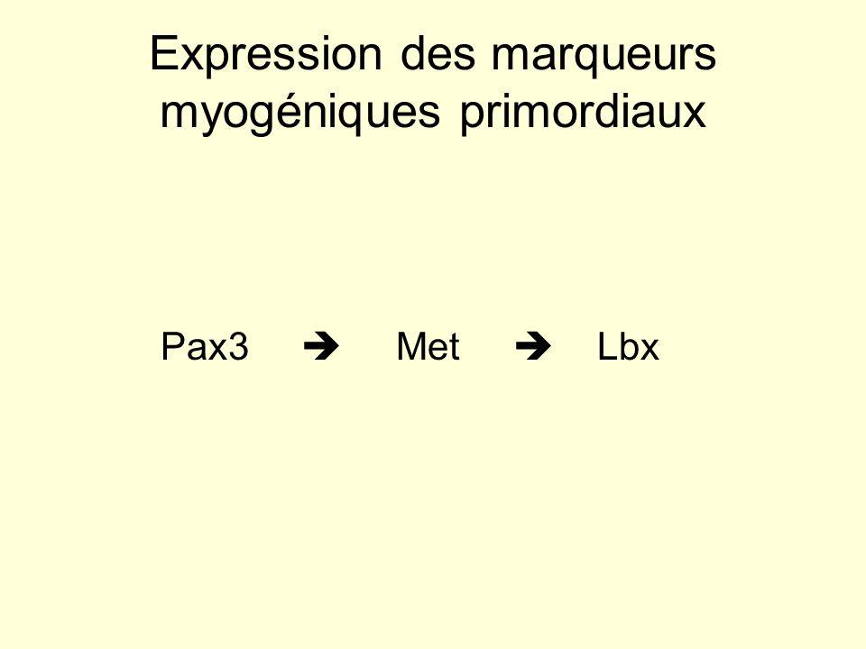 Expression des marqueurs myogéniques primordiaux