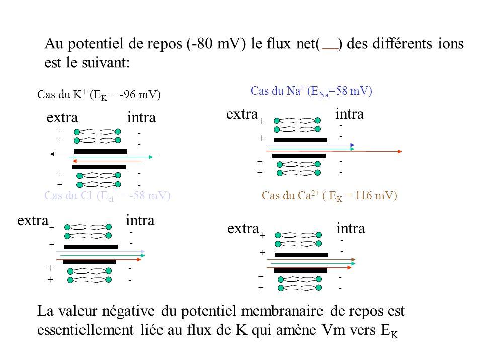 Au potentiel de repos (-80 mV) le flux net( ) des différents ions