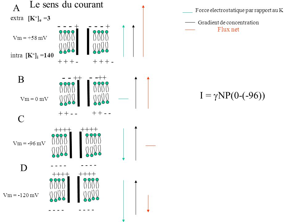 Le sens du courant A - - - + - - - + - - ++ - -++ B I = gNP(0-(-96)) C
