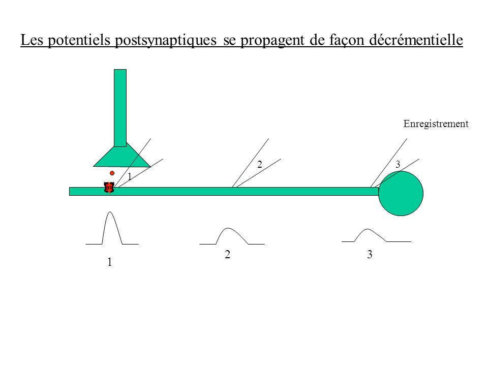 Les potentiels postsynaptiques se propagent de façon décrémentielle